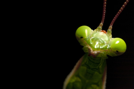 Mantidae, insect, portrait on black background Stock Photo