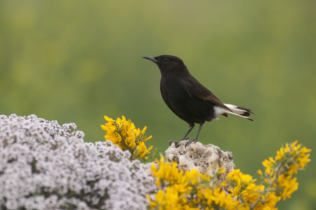 Male of Black wheatear, Oenanthe leucura 写真素材