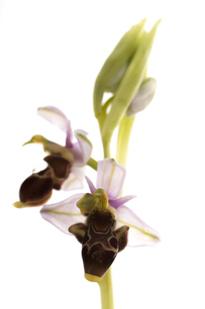 Wild orchid from southern Western Europe, Bee orchids, Ophrys scolopax, white background