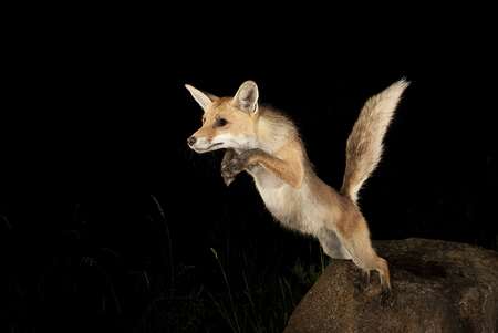 Fox, vulpes vulpes, jumping from a stone with black background