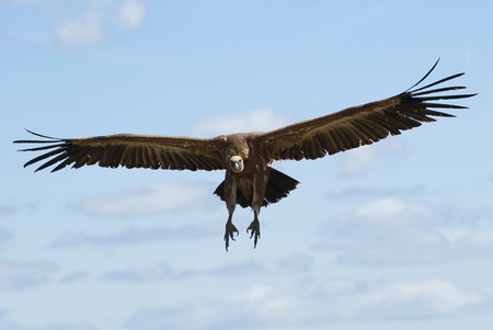 Griffon Vulture (Gyps fulvus) flying in central, clouds and blue sky