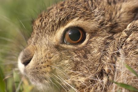 Little baby hare Lepus europaeus, lepus granatensis, portrait Standard-Bild - 117667391