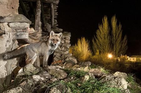 Fox, vulpes vulpes, in a ruins near a village