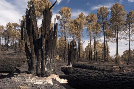 Forest fire, Pinus pinaster, Guadalajara, after the fire (Spain) Reklamní fotografie