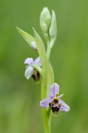 Wild orchid from southern Western Europe, Bee orchids, Ophrys  scolopax