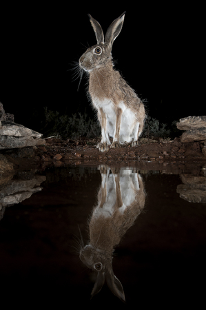 Lepus europaeus, lepus lena granatensis, portrait drinking water with reflection