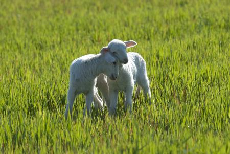 Ewe lambs sheep