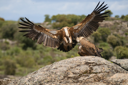 Griffon Vulture (Gyps fulvus) with open wings, flying scavenger birds Imagens