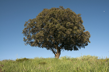 Holm oak on green cereal field, Quercus ilex