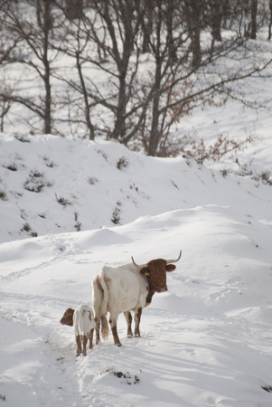 Cows in landscape with snow