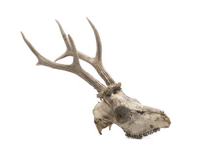Roe deer (Capreolus capreolus), mammal skull and horns, white background