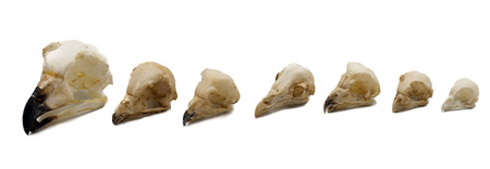 skulls of owls, night raptors with white background Stock Photo