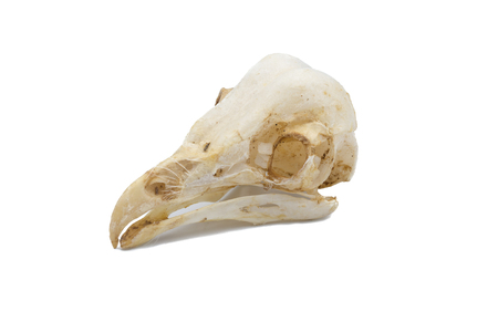 The barn owl (Tyto alba), owl skull, nocturnal raptors with white background