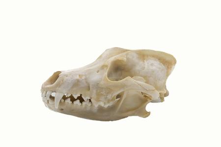 Three Grey Wolves (Canis lupus), mammalian skull Reklamní fotografie