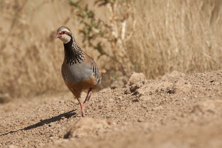 The red-legged, Alectoris rufa, among the grass Stock Photo