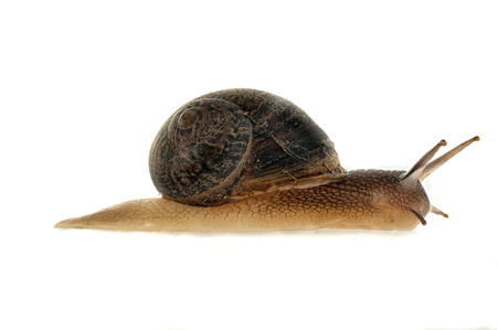 Garden snail (Helix aspersa) With white background Imagens