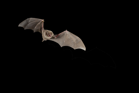 Bat bent common Miniopterus schreibersii, flying in a cave, with black background