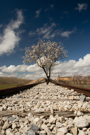 Almond tree in flower occupying some old railroad tracks Banco de Imagens
