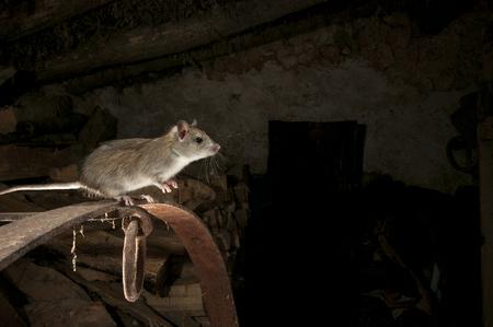 Rat noir ou rat des champs Portrait dans une vieille botte de foin, Rattus rattus, Espagne Banque d'images