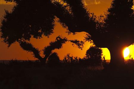 Dehesa with oaks at sunset, (Quercus ilex), Spain Archivio Fotografico