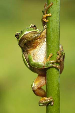 Pretty amphibian green European tree frog, Hyla arborea, sitting on the grass, Spain Stockfoto