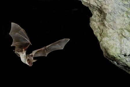 Fledermausbussard, Myotis myotis, Flug in seiner Höhle