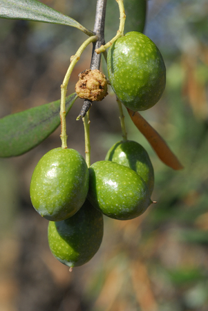 Olea europea, Allergens Plants