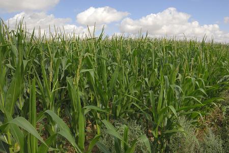 Zea mays, Corn, Allergens Plants