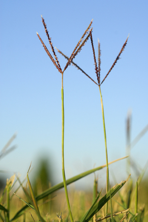 Cynodon dactylon, grama, Allergens Plants
