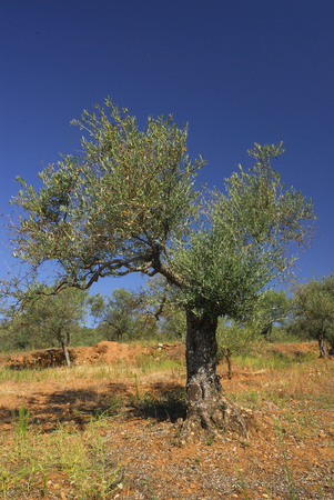 Olea europea, Allergens Plants