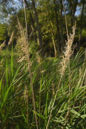 Phragmites communis, Allergens Plants