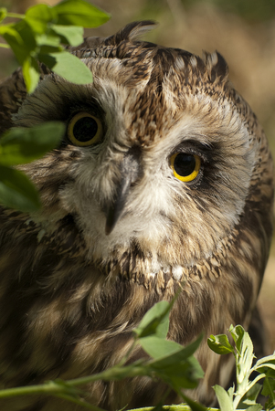 Short eared owl, Asio flammeus, country owl, portrait of eyes and face 写真素材