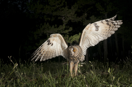 Long-eared owl (Asio otus), Hunting at night, in flight, flying Stock Photo