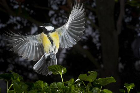 Great tit (Parus major). Garden bird, Flying with green background of plants and trees