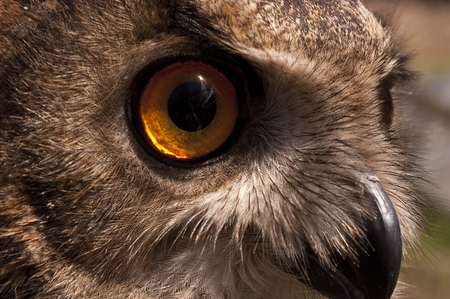 Eurasian owl (Bubo bubo) eagle owl, portrait of head and eyes Imagens