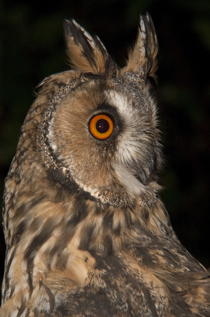 Long-eared owl (Asio otus), portrait with black background, ears and eyes of owl