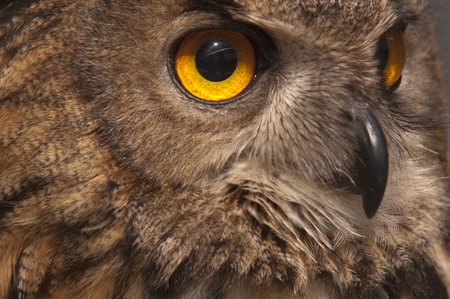 Eurasian owl (Bubo bubo) eagle owl, portrait of head and eyes 写真素材