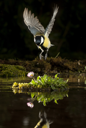 Great tit (Parus major). Garden bird, flying and reflected in the water Stock Photo