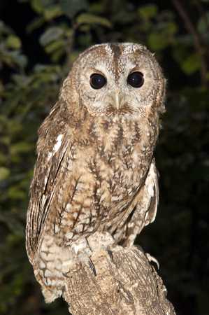 A Tawny owl perched on a branch (Strix aluco)