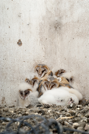 owl (Tyto alba), nest with chickens in an old house Stock Photo
