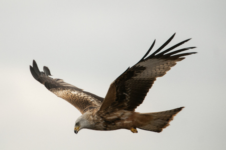 Red kite, Milvus milvus, flying