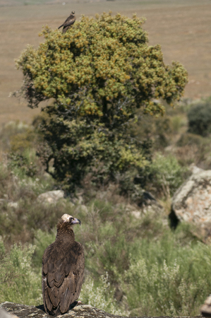 Cinereous (Eurasian Black) Vulture (Aegypius monachus) and Black Kite, Milvus migrans