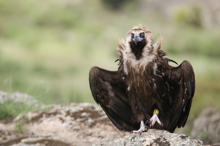 Cinereous Vulture, Aegypius monachus, standing on a rock