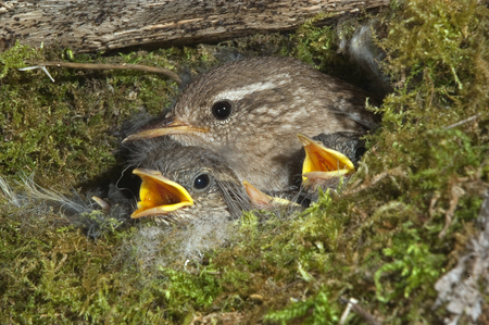 House Wren, Troglodytes troglodytes, at the entrance of their nest with their young