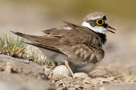 Little Ringed Plover (Charadrius dubius), adult in the nest with eggs