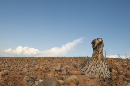 Burhinus oedicnemus (Eurasian thick knee, Eurasian Stone-curlew, Stone Curlew) in its nest, with wide angle 版權商用圖片