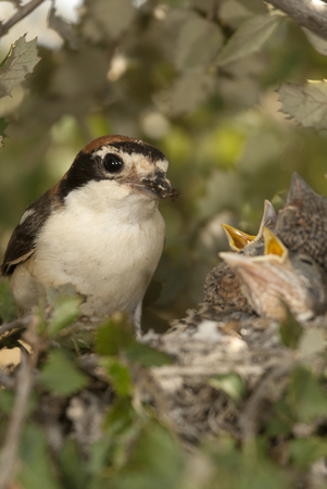 Woodchat shrike. Lanius senator, in the nest with his pup