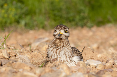 Burhinus oedicnemus (Eurasian thick knee, Eurasia Stone-curlew, Stone Curlew) resting on the ground Banque d'images