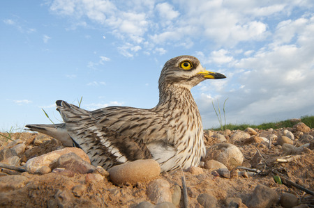 Burhinus oedicnemus (Eurasian thick knee, Eurasian Stone-curlew, Stone Curlew) in its nest, with wide angle Standard-Bild