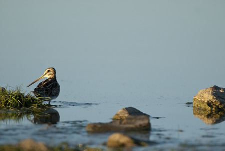 Common Snipe (Gallinago gallinago), looking for food in the water